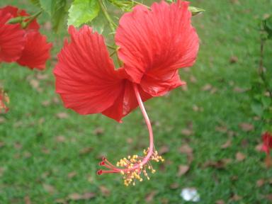 Malaysianflower